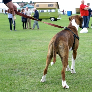 boxer dog field of dreams